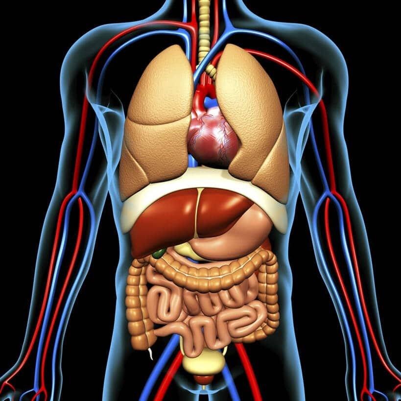 Днем, строение органов человека картинка с надписями