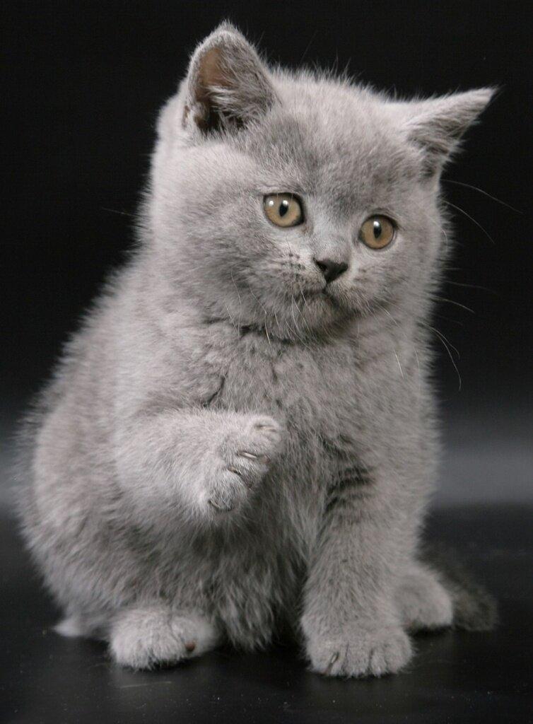 Картинки британцев котята