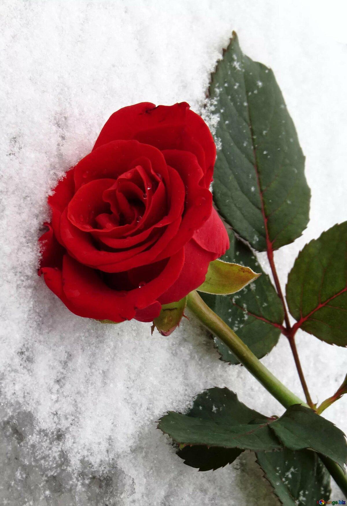 Картинки снег розы