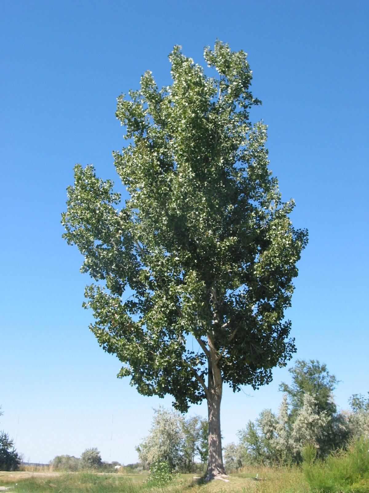 для тополь дерево картинка для каждый день создают