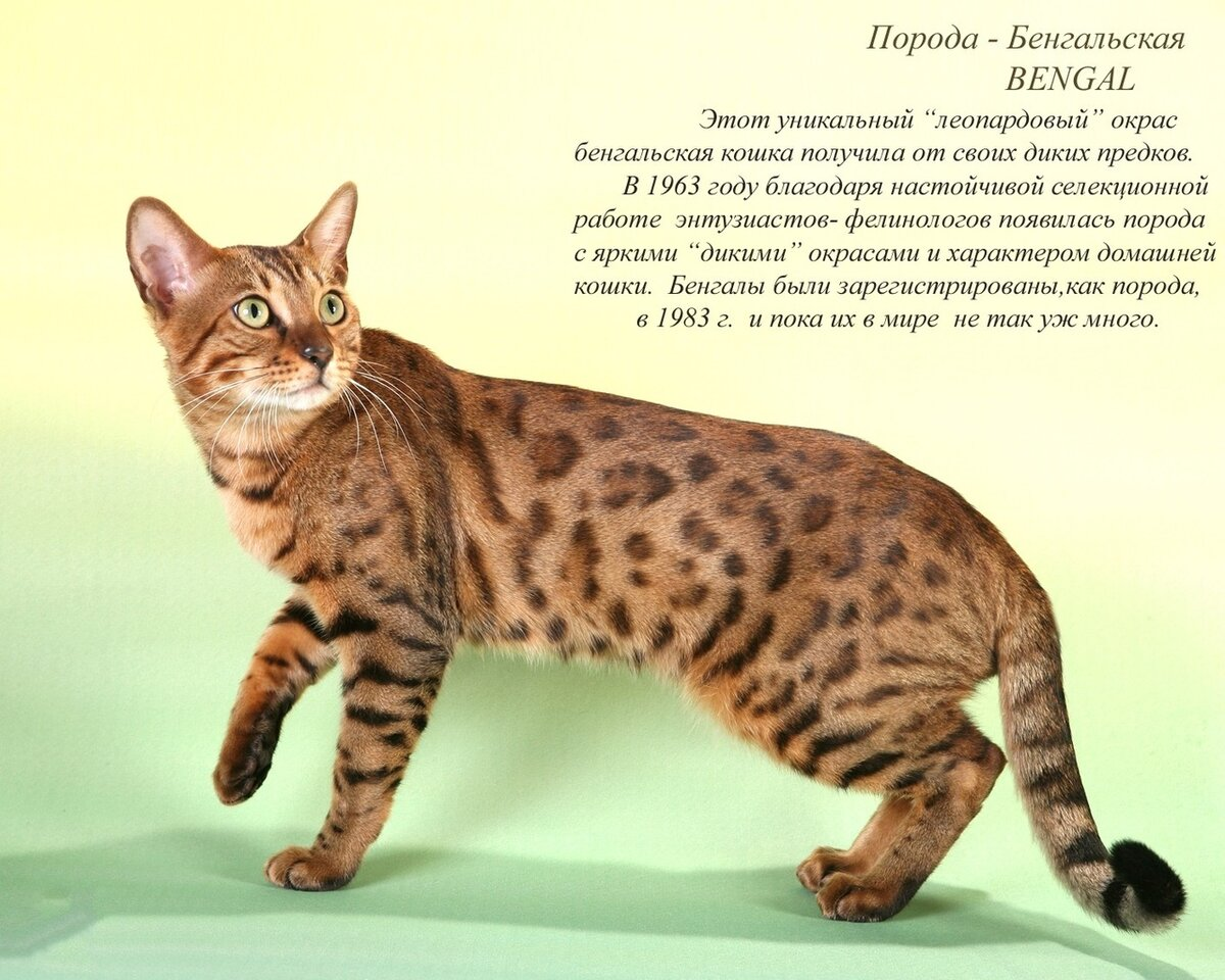 атлас пород кошек с фотографиями данной