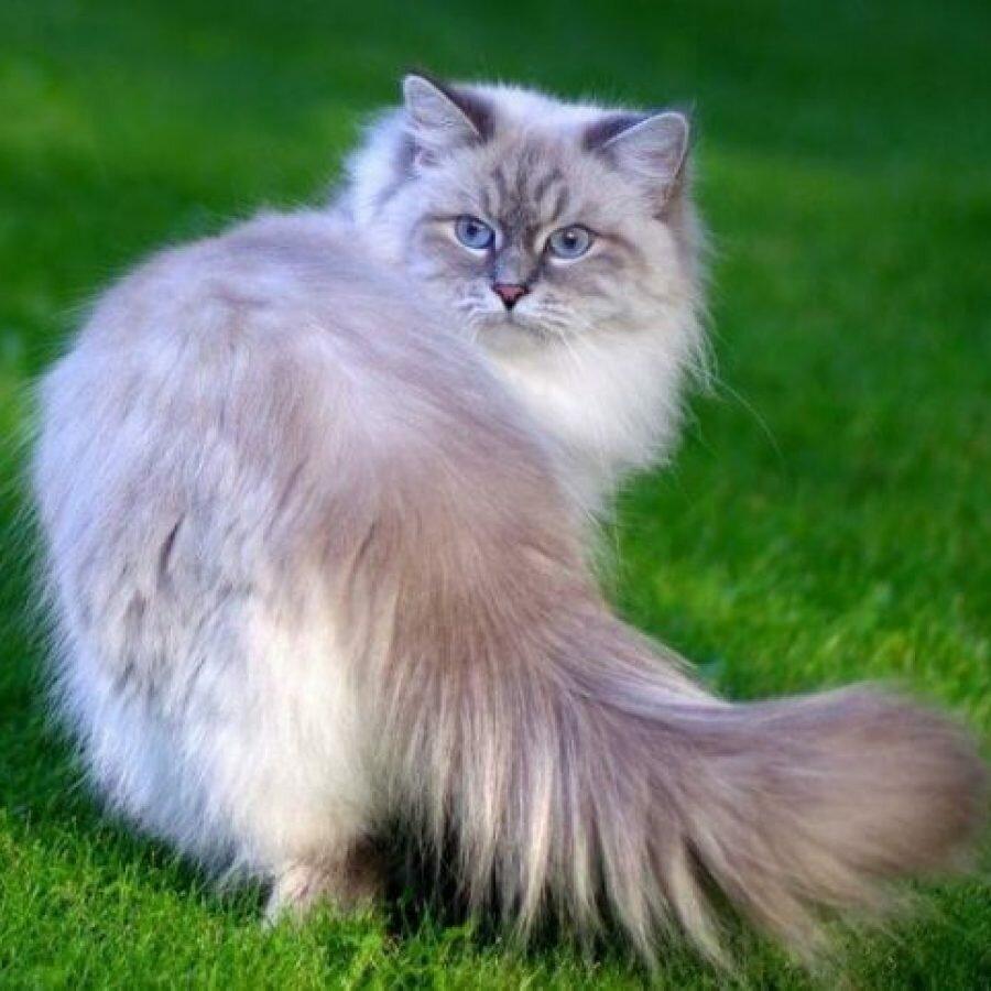 этом, картинки невских маскарадных кошек уже никто