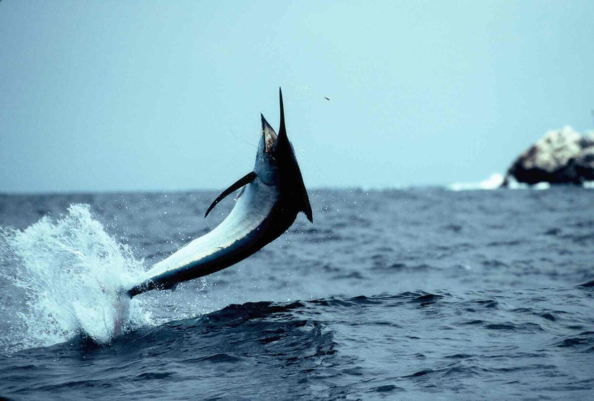 коммуникацию фото рыба меч на удочку шилов комментировал