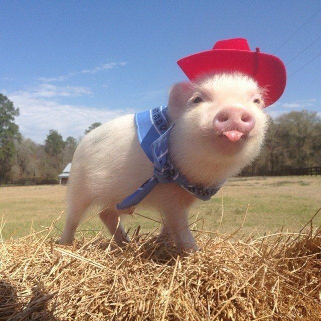 Смешные свинья в картинках, открытка катя
