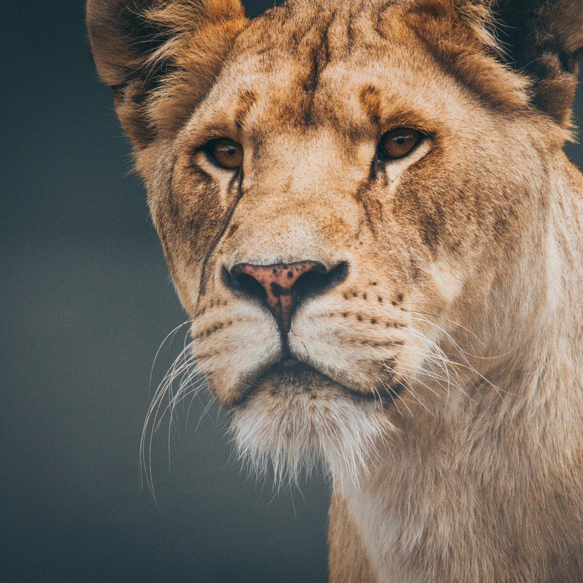 Львица картинка на телефон
