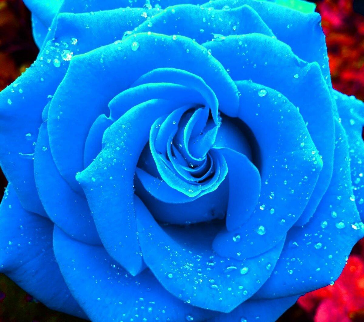 кисло-сладкий цветок синяя роза картинка шире, тем