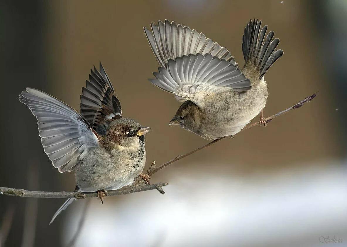Воробей летящий фото картинки