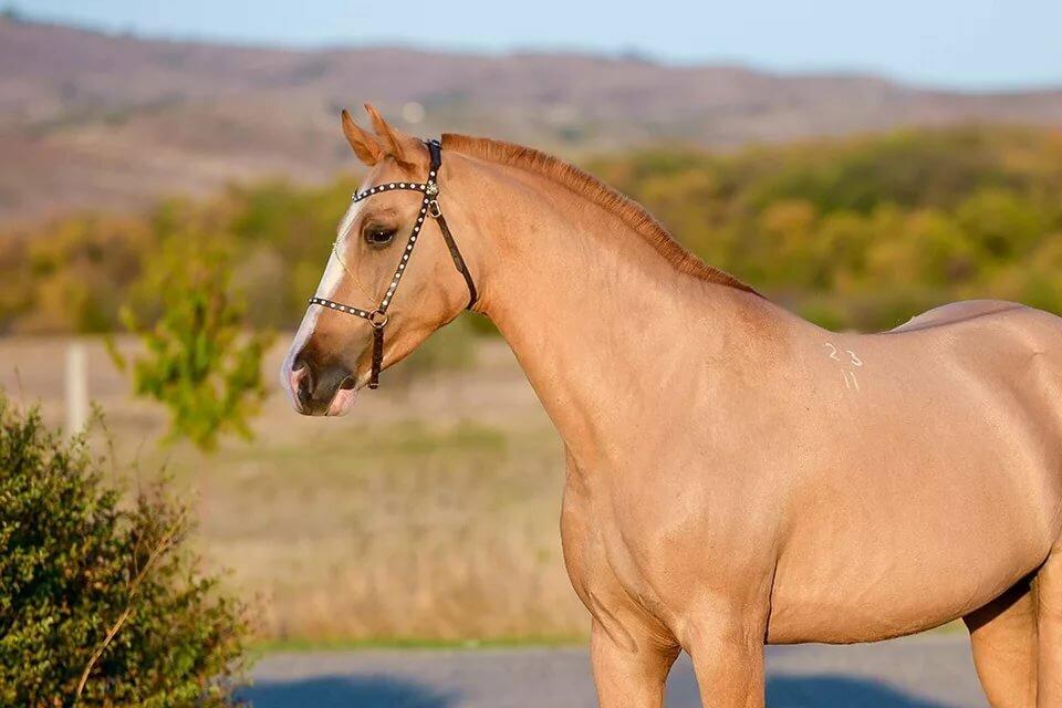 Каурые лошади картинки