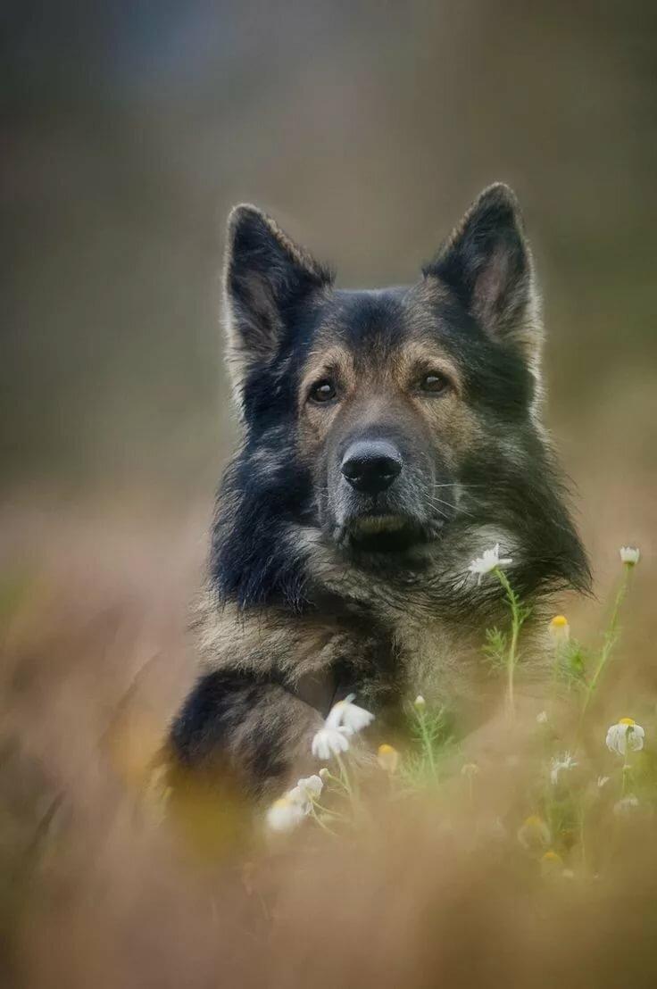 картинки с овчарками и волками шёнбрунн