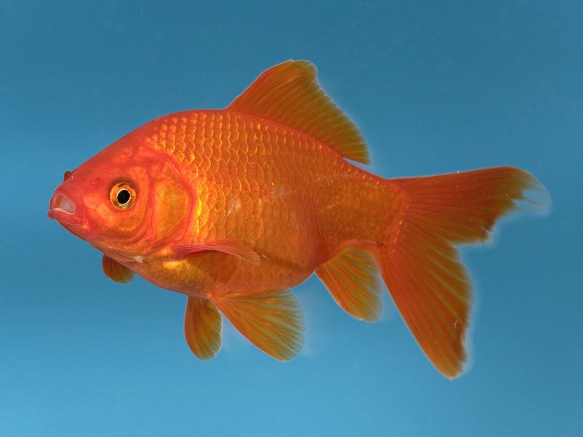 Картинка золотого рыбки