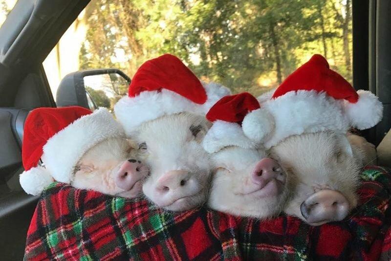 Прикольные свинки картинки новогодние, картинки