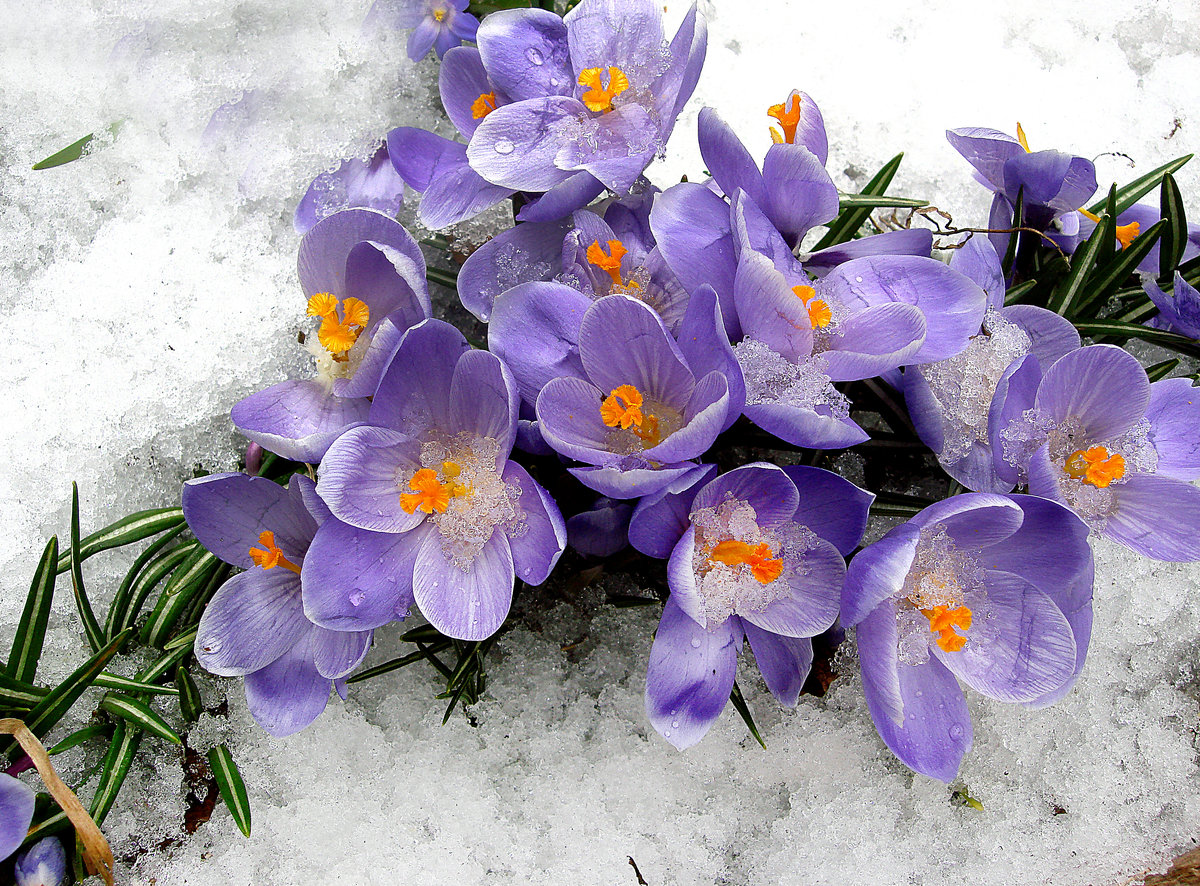 Картинки на весь экран цветы под снегом