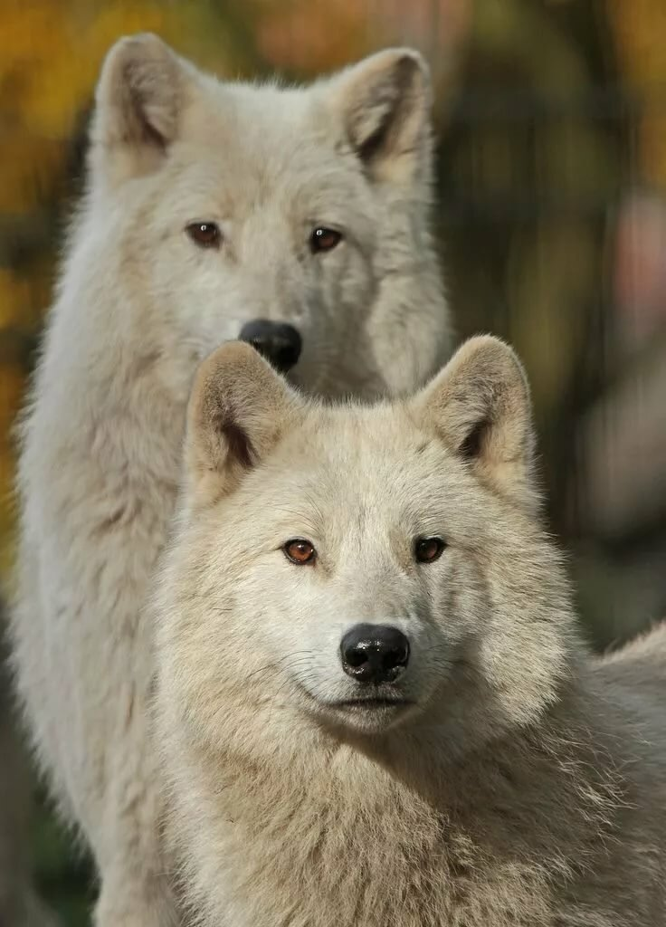 невесты белые волки пара картинки связи
