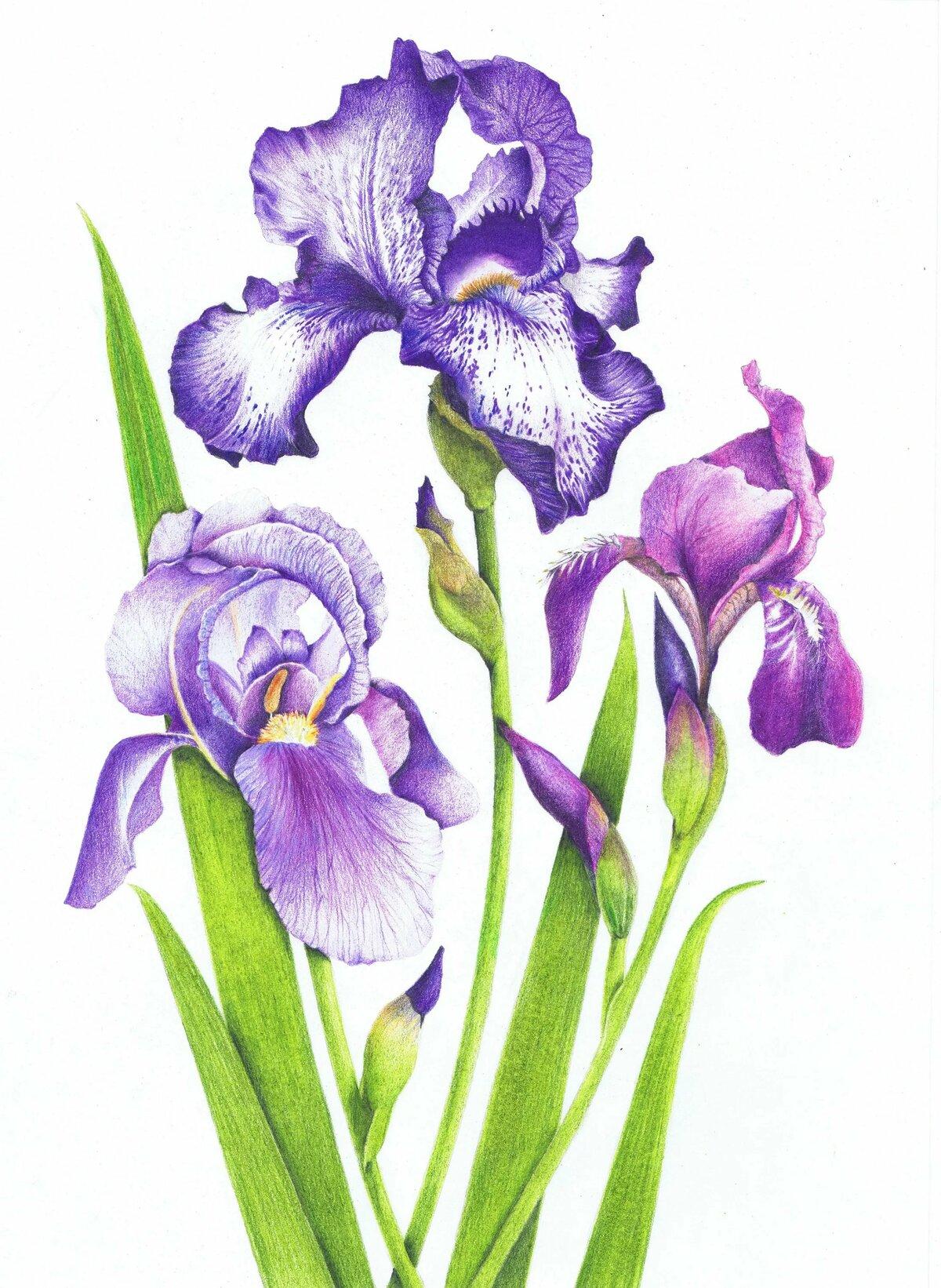 Распечатать черно, цветы открытки ирис