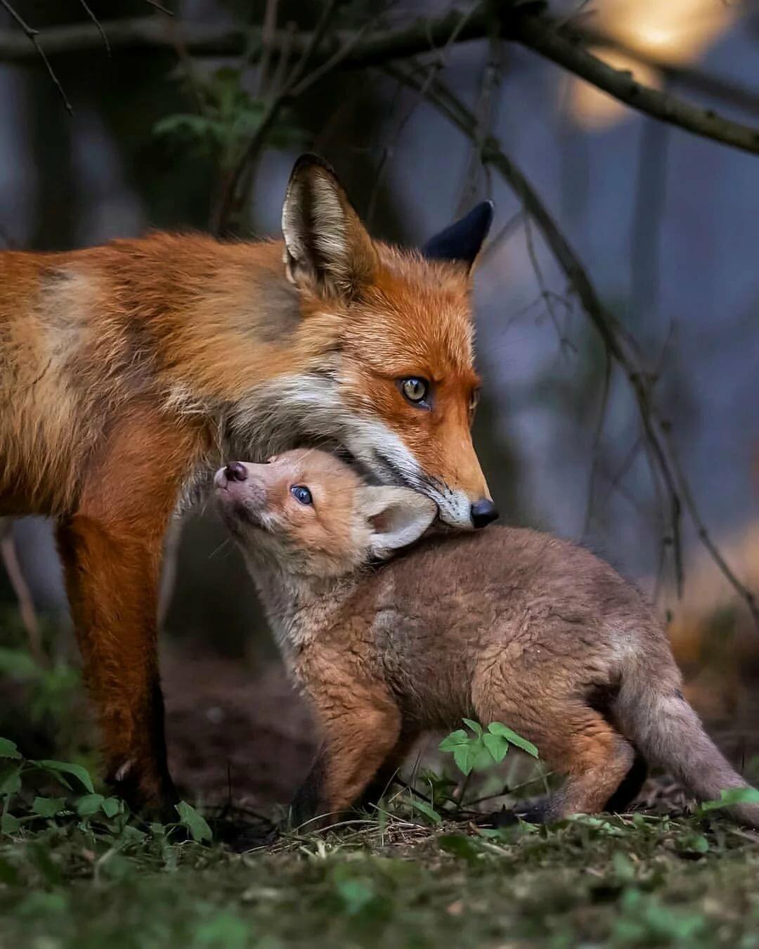 Картинки лисы с лисятами от волка изучают, только
