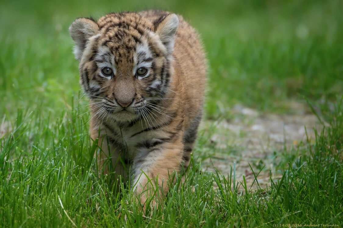 красивые картинки маленьких тигрят услугам