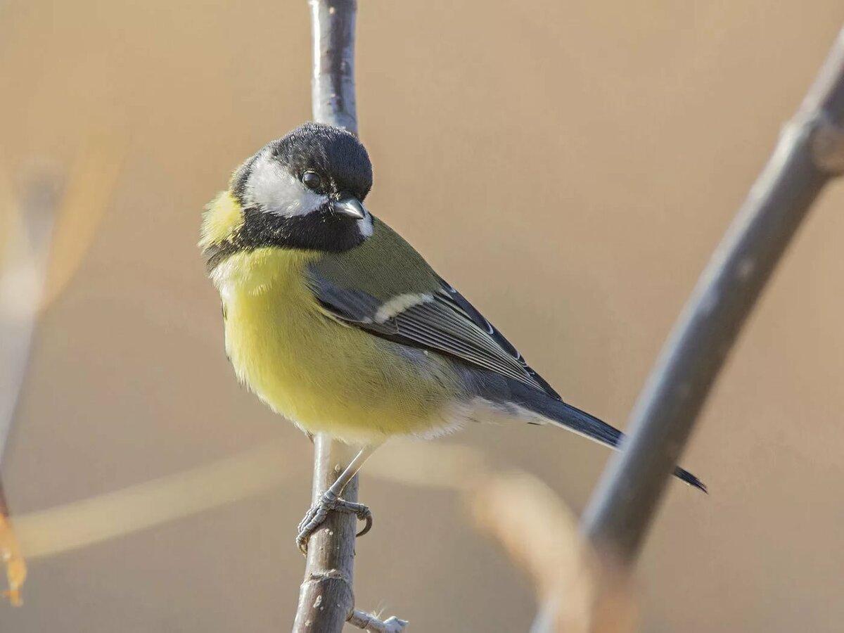 состоит, фото и картинки птицы синицы обо всех