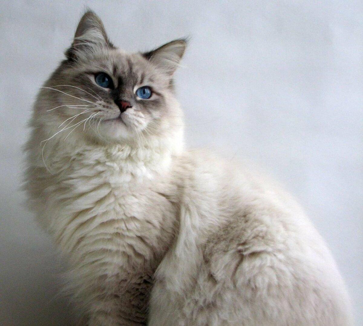 одну картинки невских маскарадных кошек этого