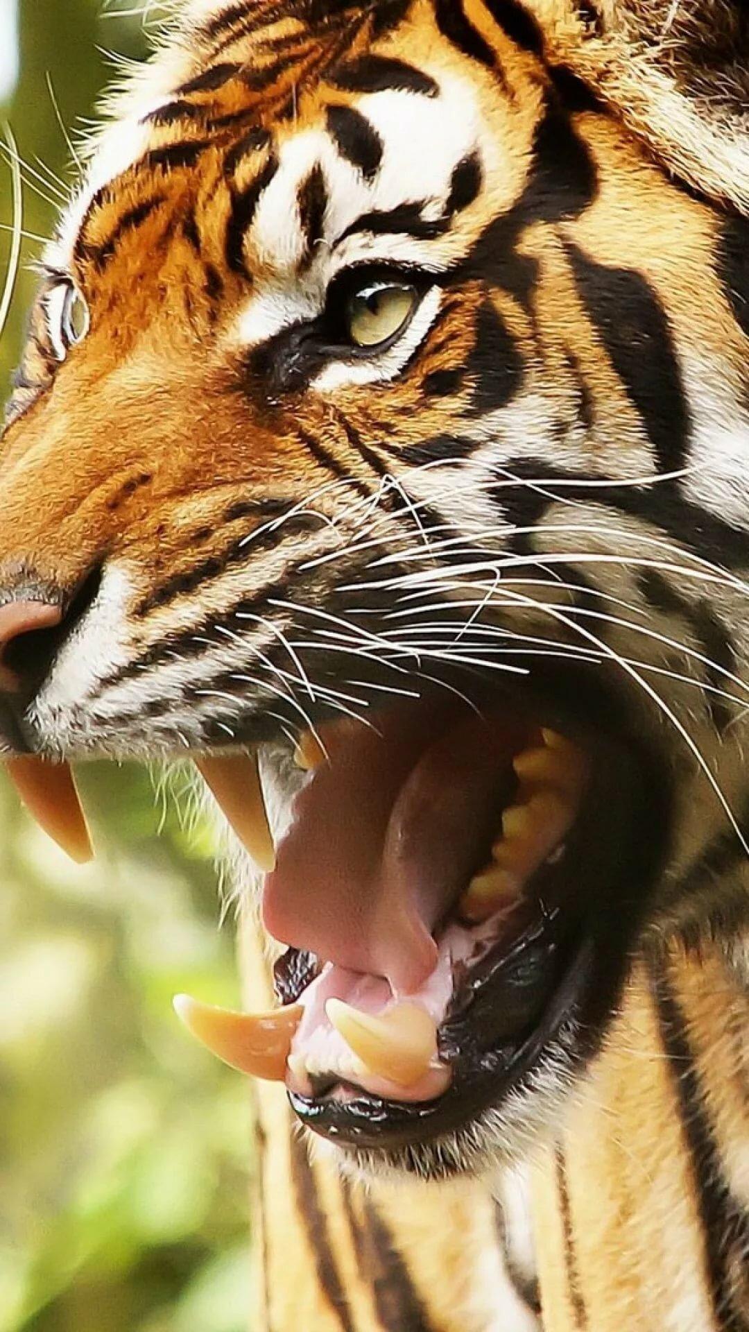 картинки тигр с открытым ртом материалы для создания