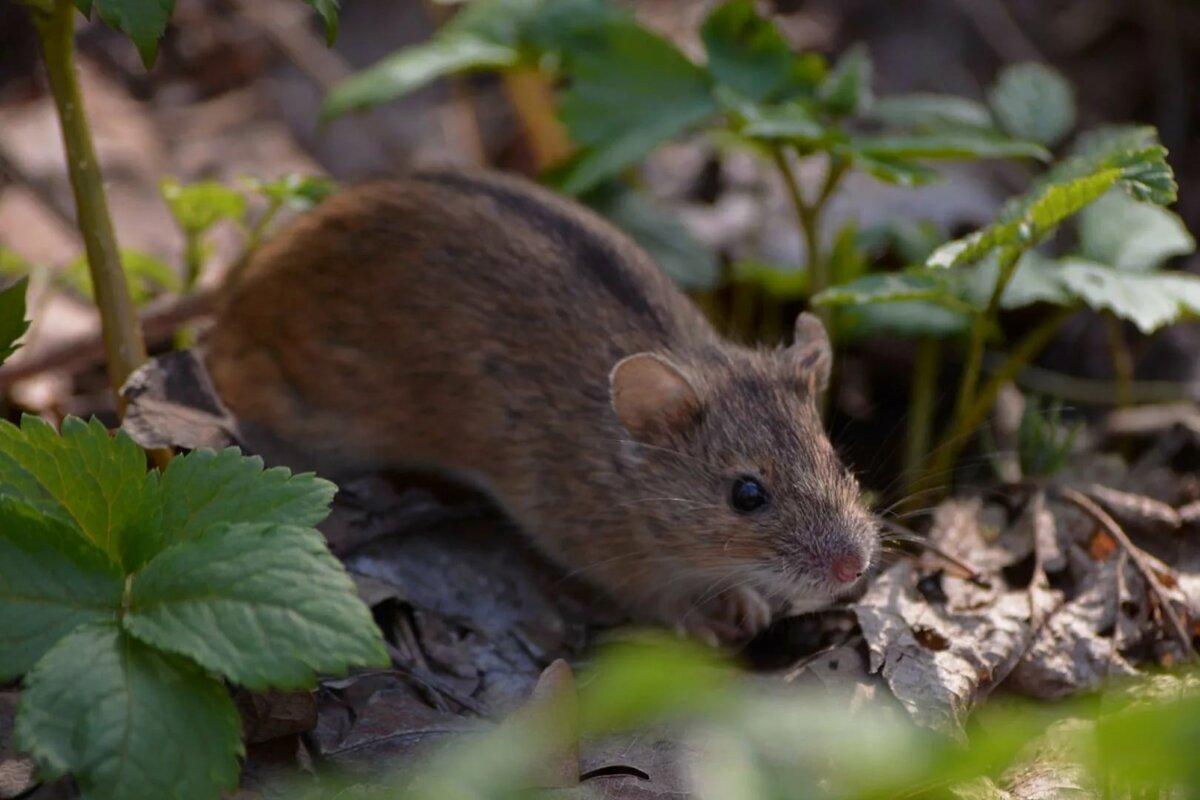удобства картинки мышки полевой разделе
