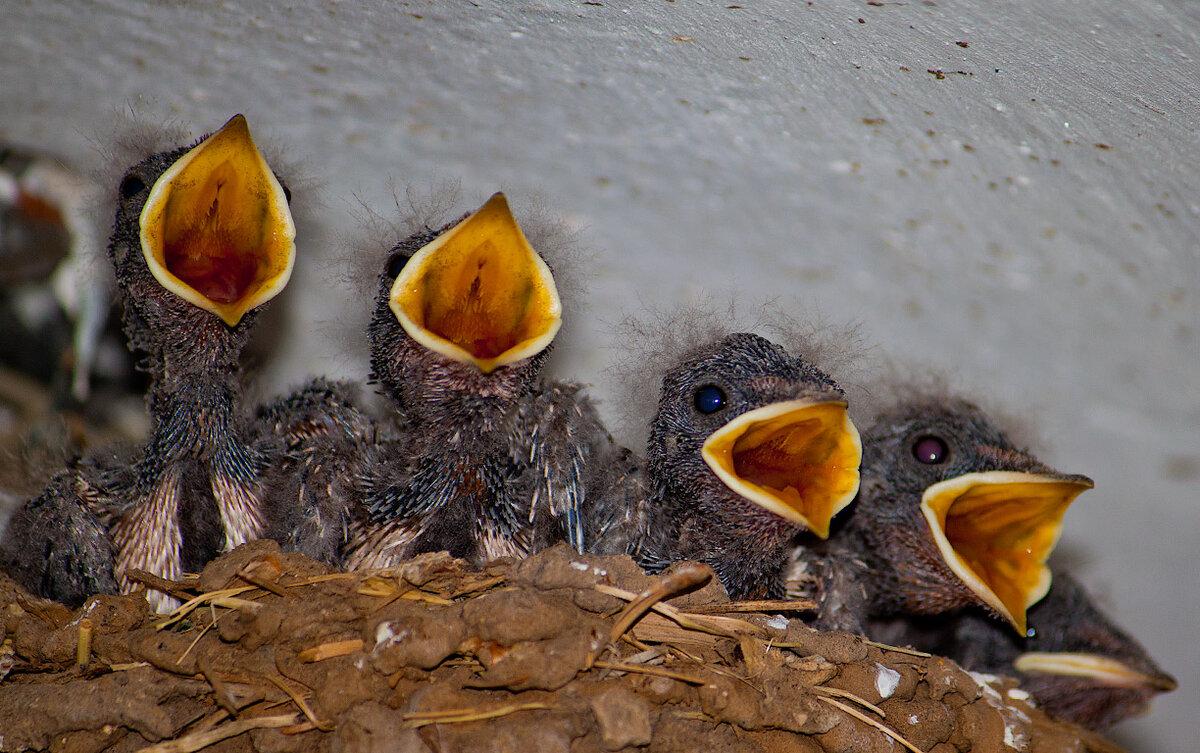 дальше, милые фотографии птенцов ласточки обрел большую популярность