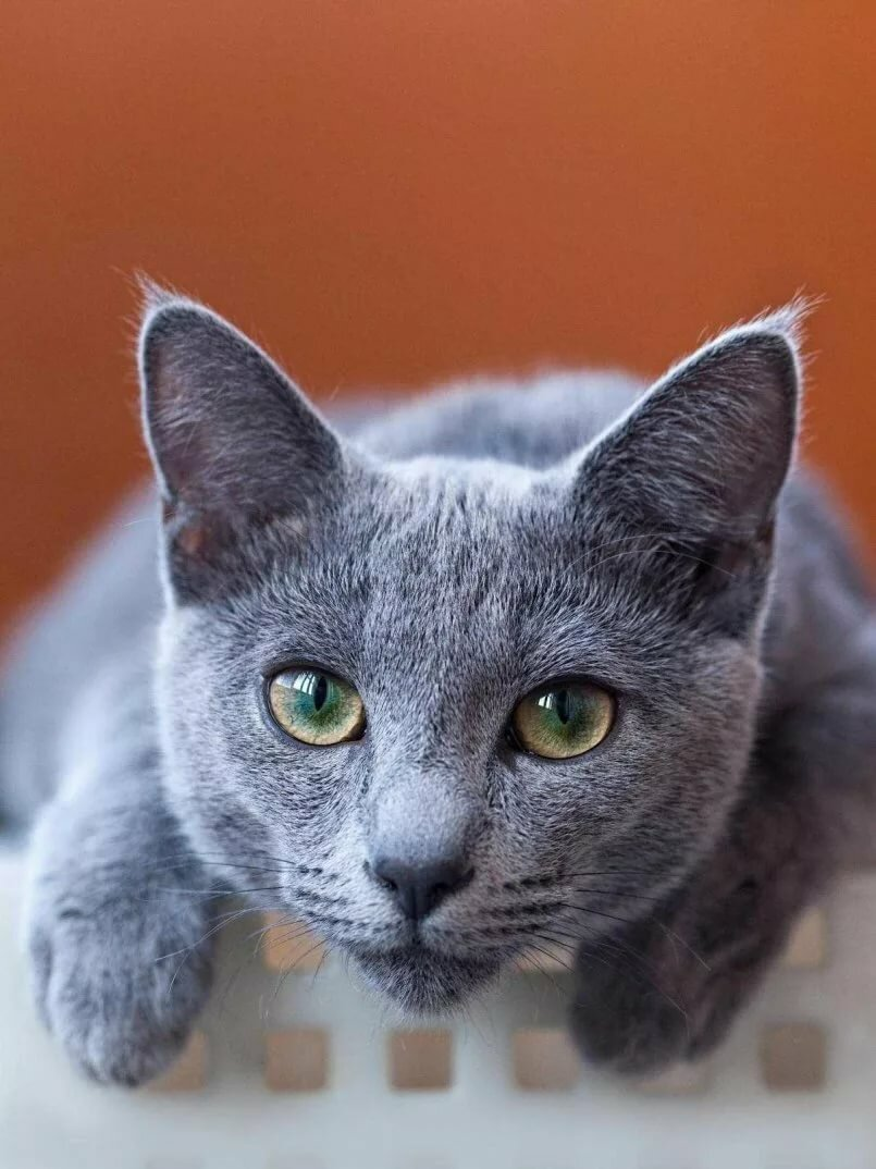 russian blue cat - 675×900