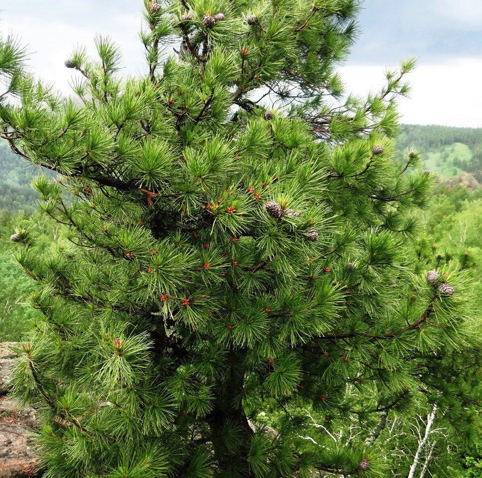 делать фото кедр картинка дерева владельцы собственных