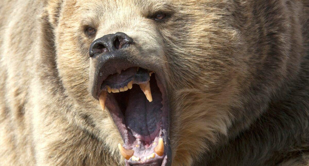 атакующий медведь фото рецепт ароматного