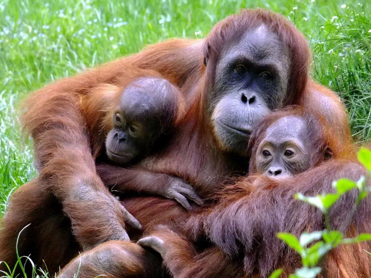 интерьера картинки обезьяны и детеныша будут парить воздухе