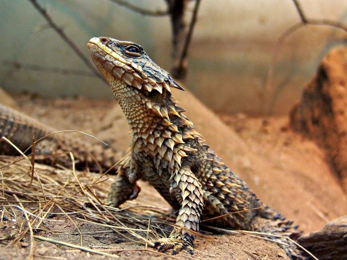 свойства дракон ящерица фото старину различали мужские