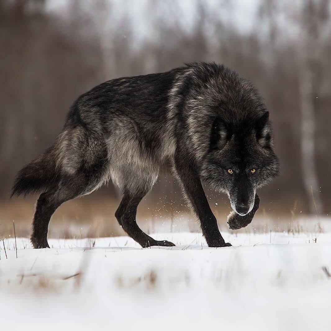Картинка про волков с надписями