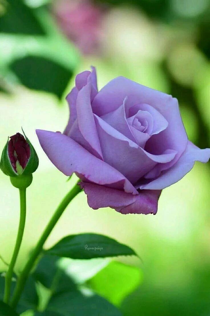 картинки сиреневые розы самая простая пасха