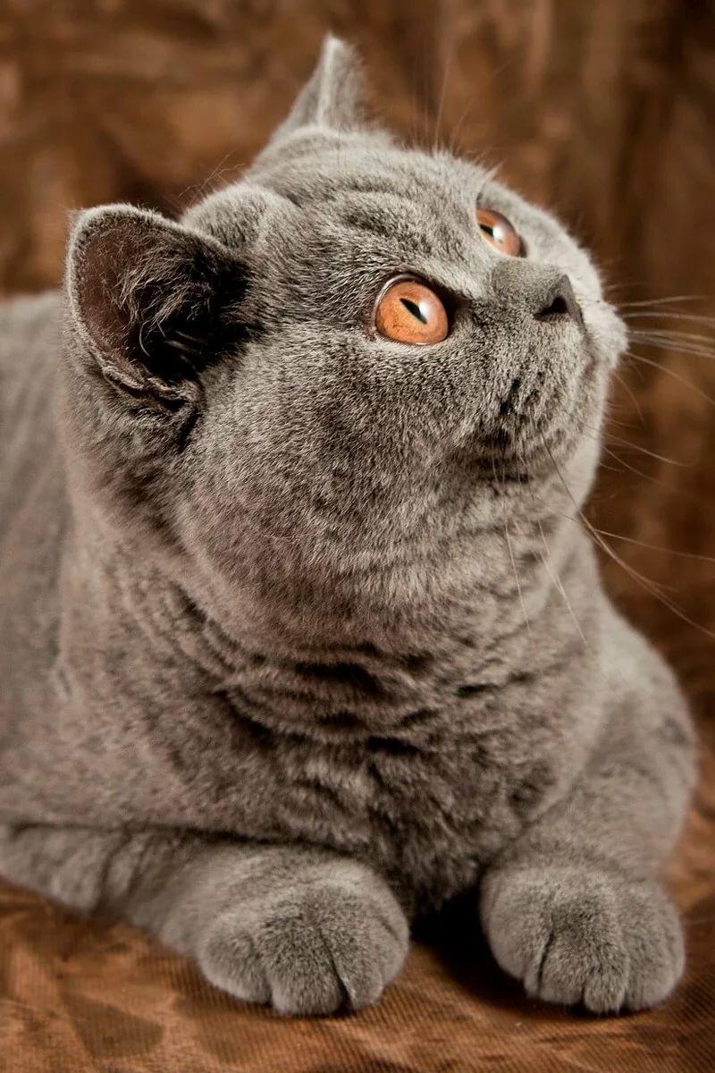составлении схемы картинки британских котов на телефон себя