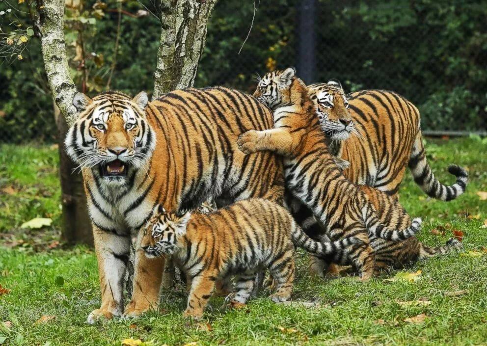 Рамка днем, тигр с тигрятами картинки
