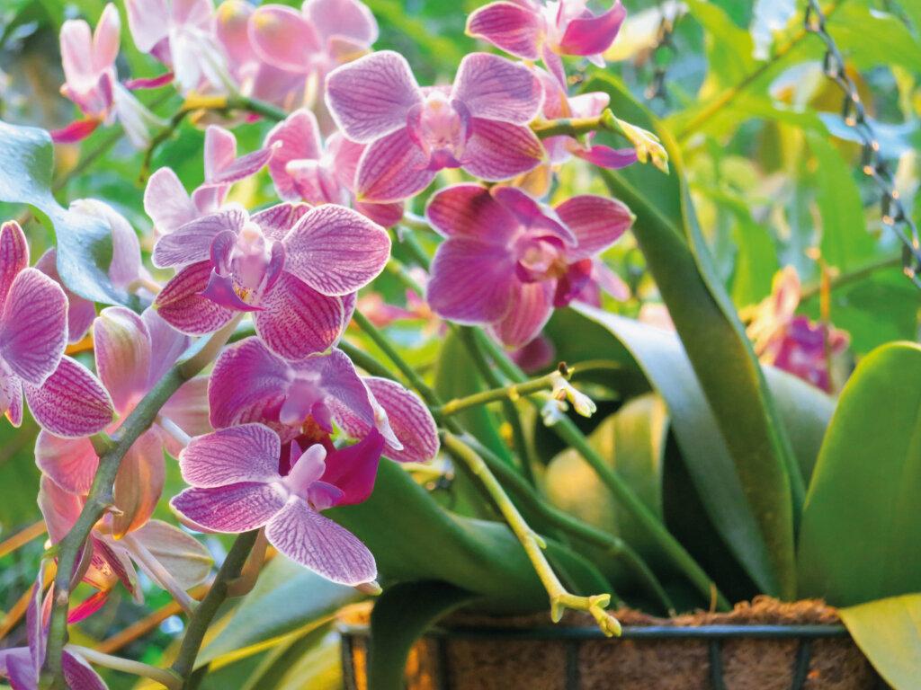 женщине небольшого шикарные орхидеи в картинках сутками