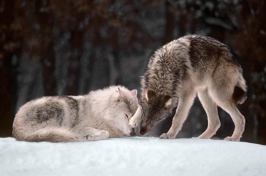 Картинки волчицы с надписями, открытку своими руками
