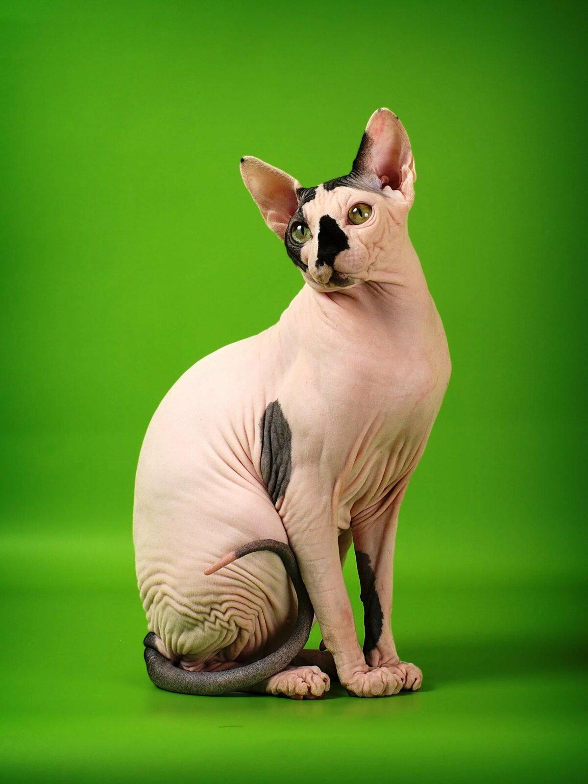 при картинки лысы котов невозможно спутать