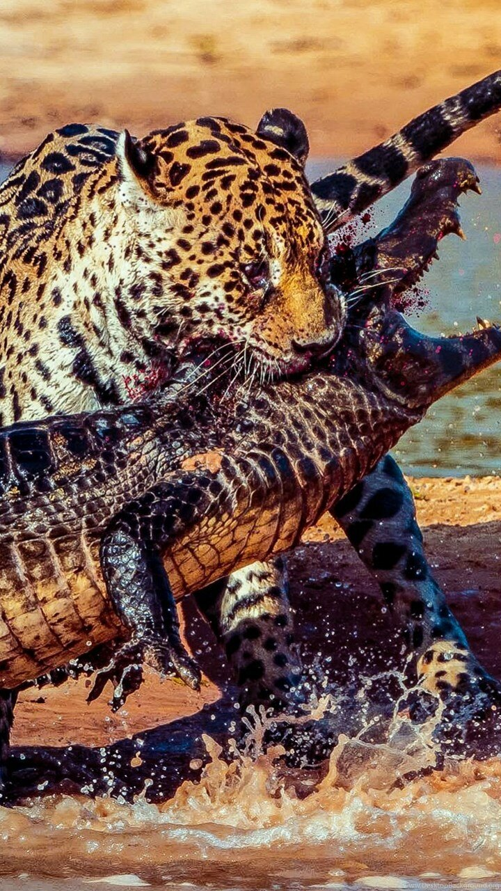 Cat Vs Gator With Blood : Wallpapers Desktop Background
