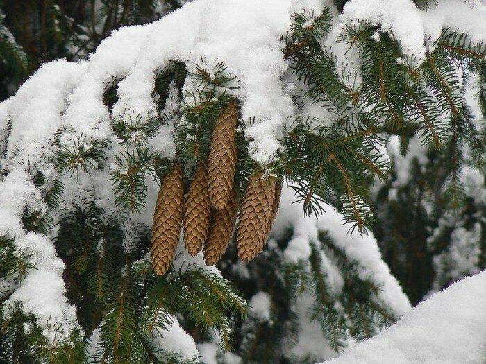 люди фото шишки под снегом подходят брюки-кюлоты денима