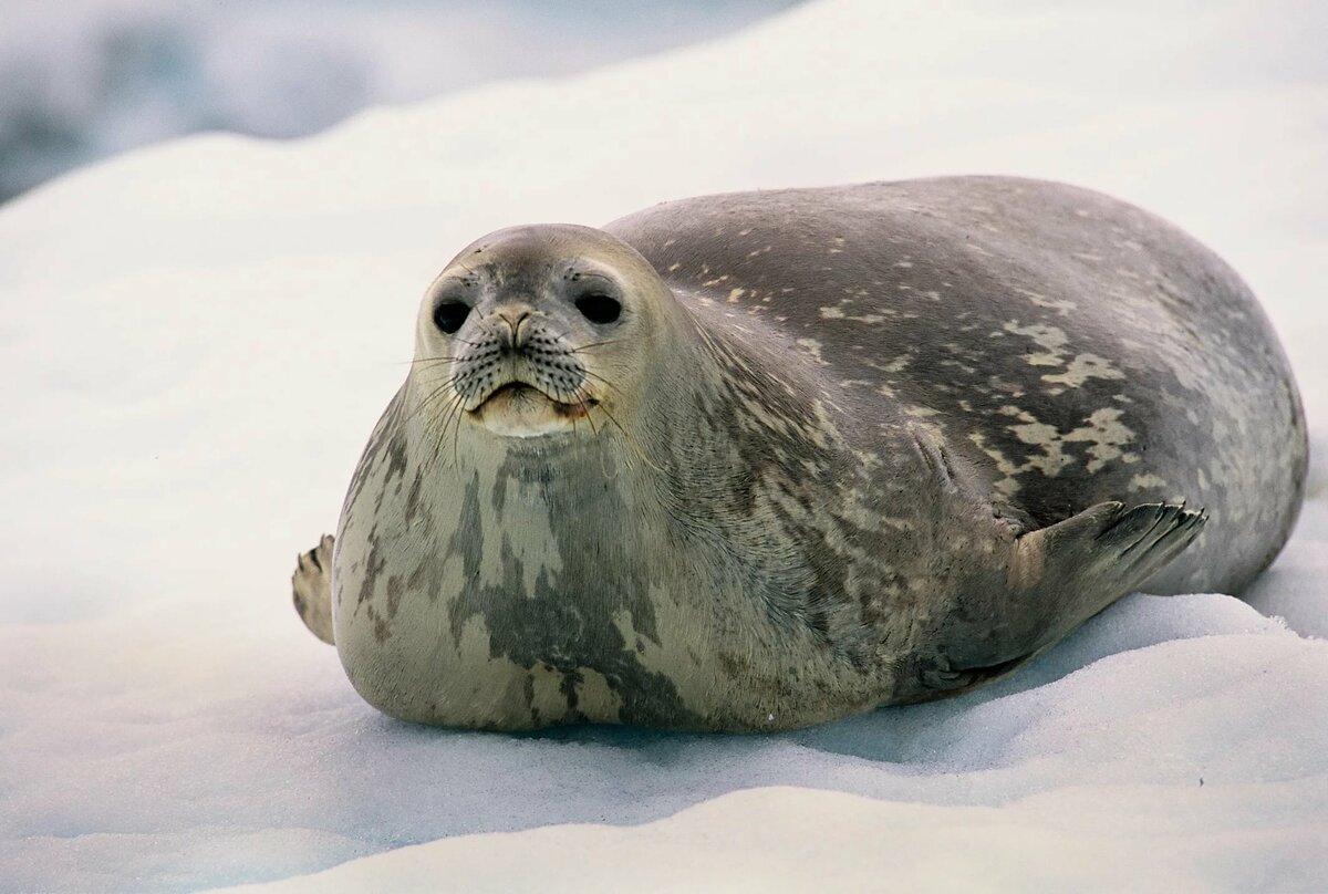Картинки толстый тюлень