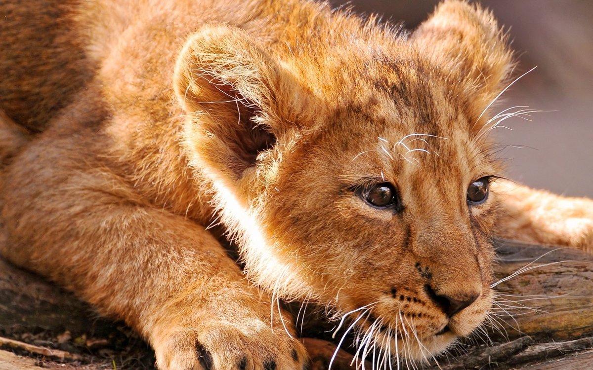 Смешные, картинки со львенком