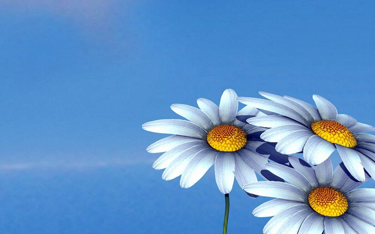 Ромашки на голубом фоне картинки