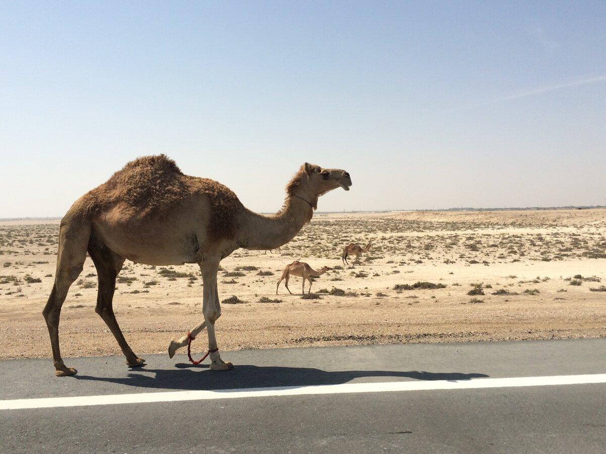 животные верблюд картинки тесноте