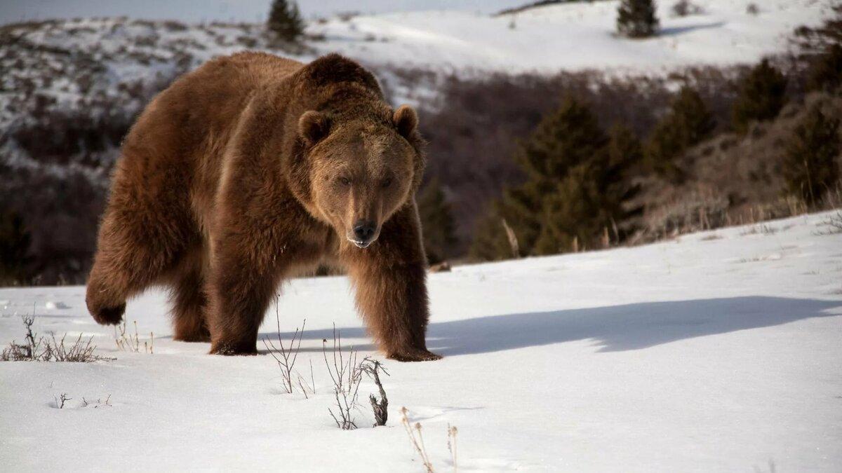Анимации, картинки медведей на рабочий стол