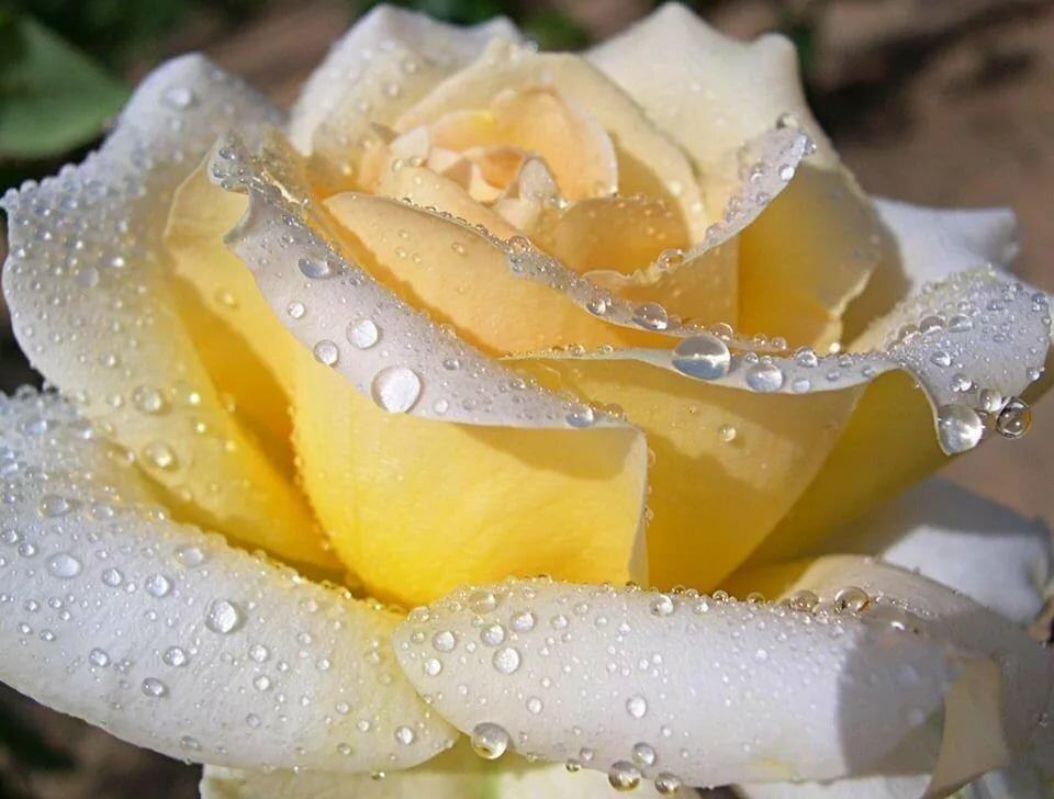 римские шторы открытки розы белые в капельках был