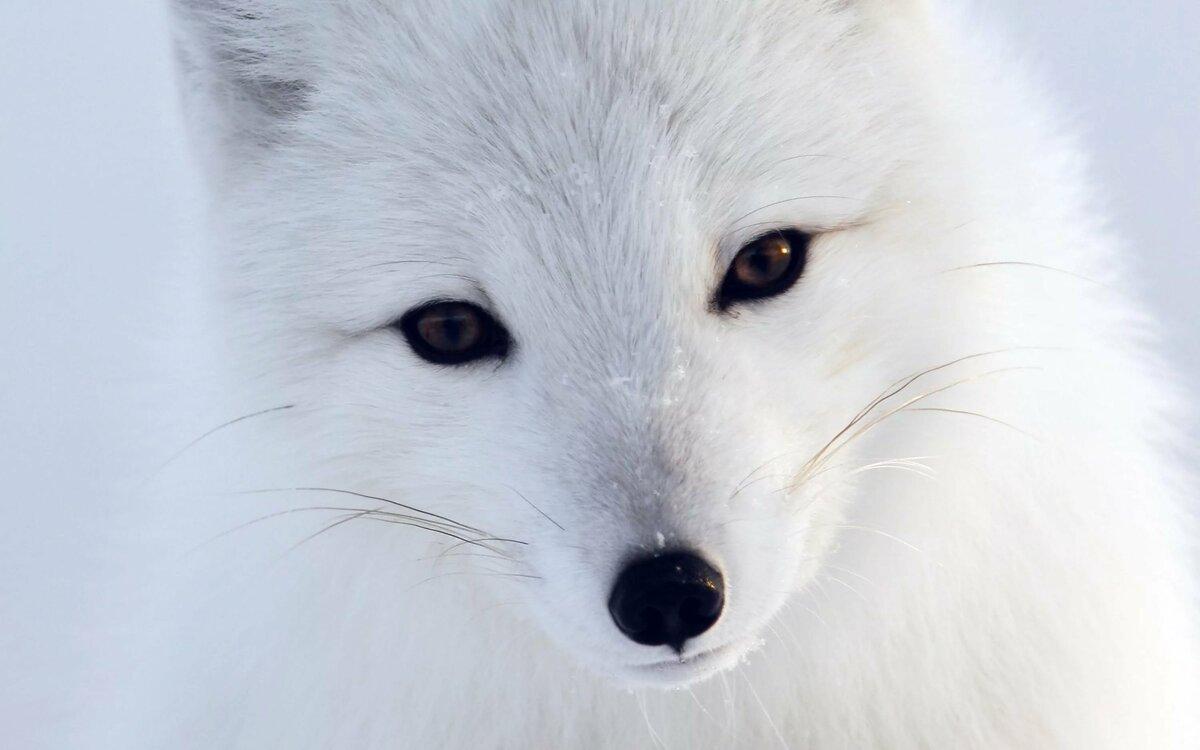 Белая лиса картинки на обои