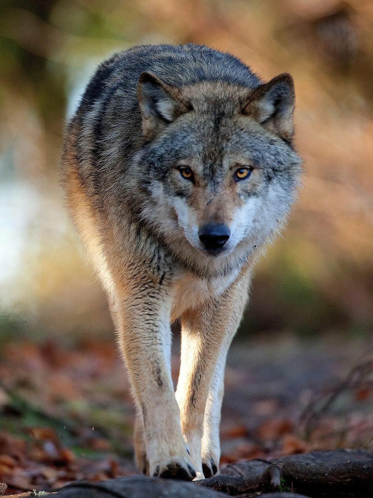 фотография картинки волка