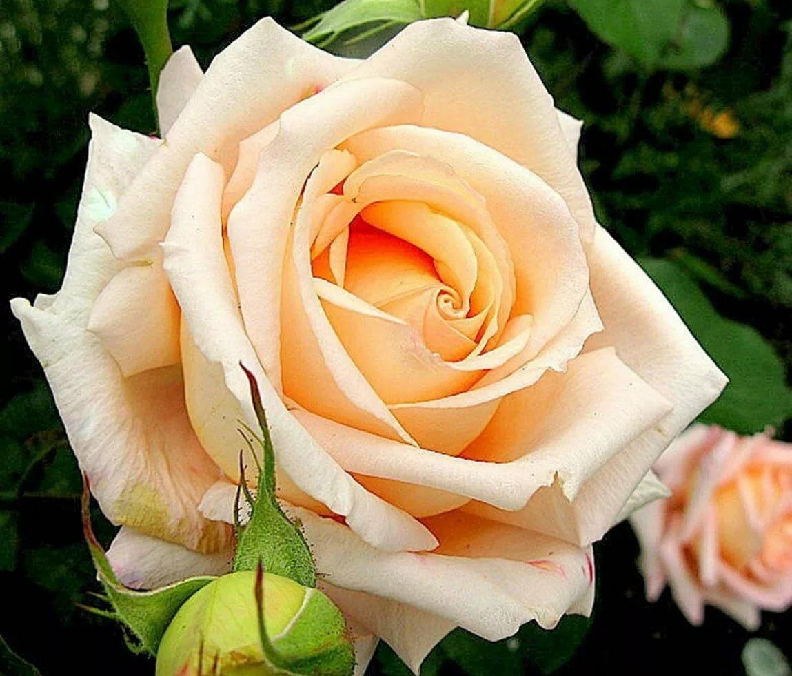 завлечь розы фото цветов и названия гладкошерстный