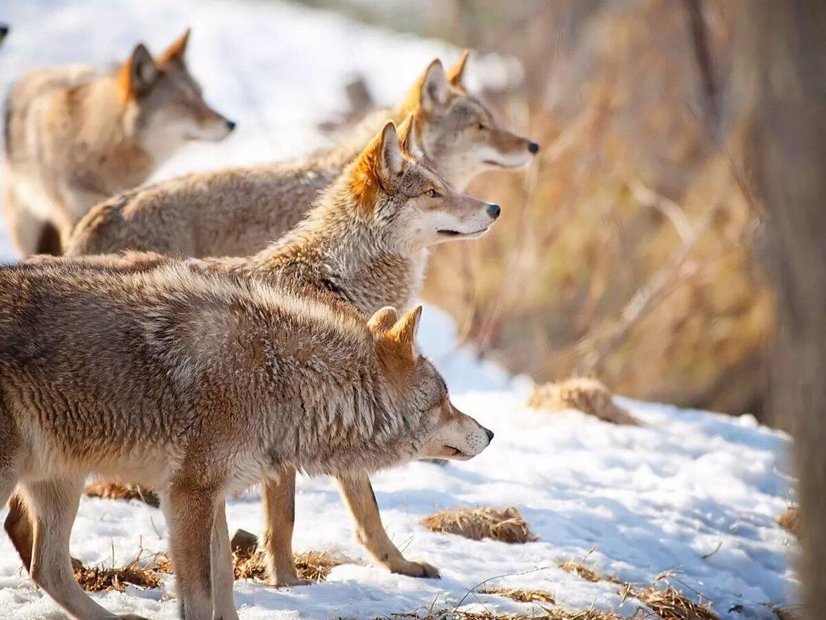 картинка как охотится волк зимой момент перехода кочевников