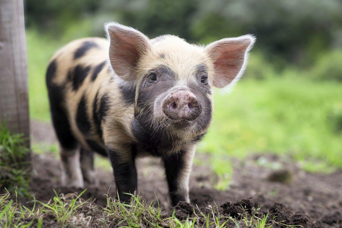 Новогодние открытки, картинка смешная свинья